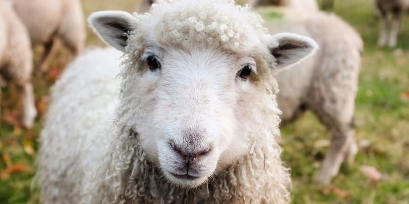 mein-auslandssemster-in-dublin tolle landschaft und viele Schafe gibts in Irland